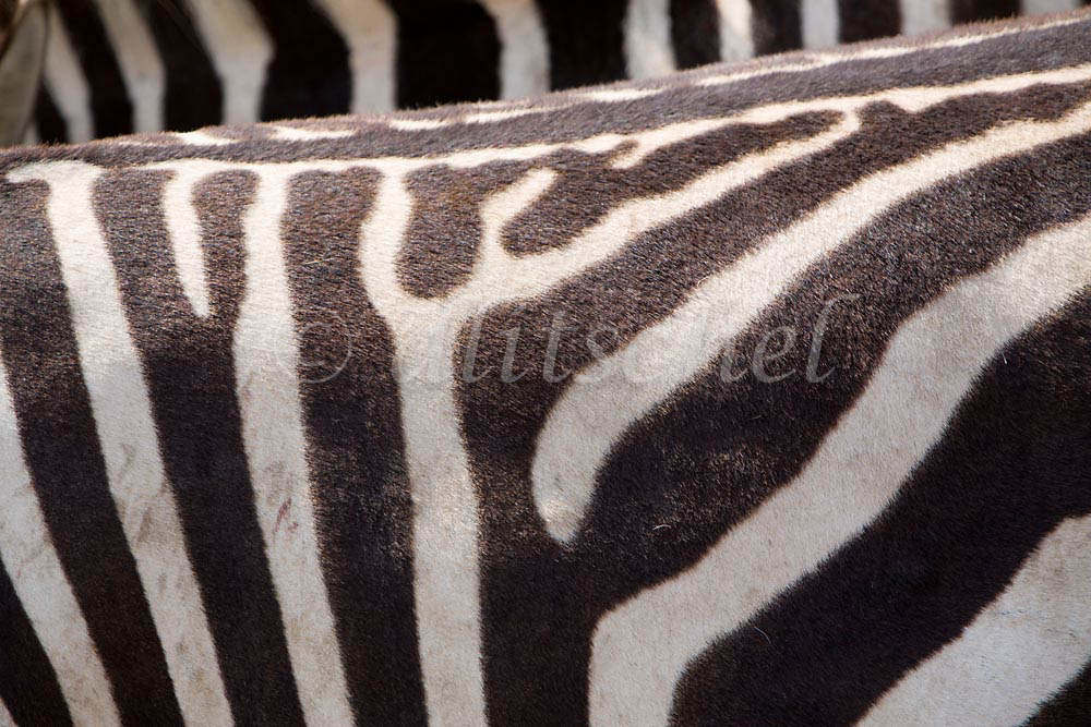 Zebra detail, in the Nogorongoro Crater, Tanzania, Africa. To purchase this image, please go to my stock agency click here.