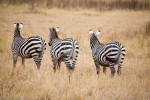 Three zebras leaving, in the Nogorongoro Crater, Tanzania, Africa. To purchase this image, please go to my stock agency click here.