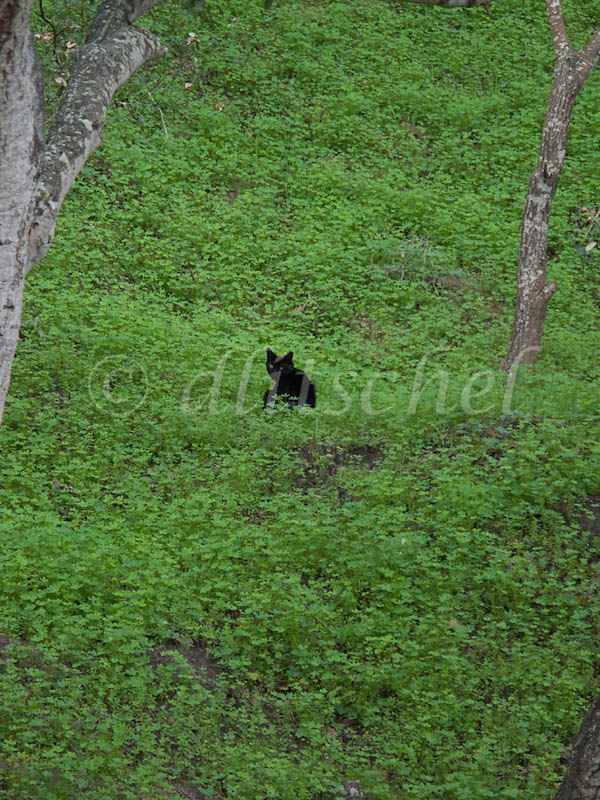 A black cat with yellow eyes sits on a hillside of bright green vegetation after a recent rain.