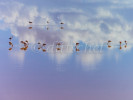 Flamingoes and their reflections in the salt waters of Laguna Colorada in Southern Bolivia in the Reserva Nacional De Fauna Andina Eduardo Avaroa.