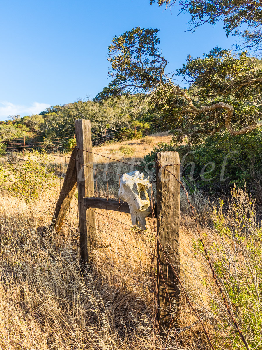 A dried cow\'s skull hangs from a barb wire fence on Santa Cruz Island. Santa Cruz Island is the largest of the eight islands in the Channel Islands of California.