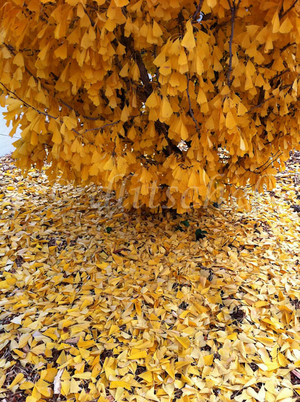 Detail of ginko tree in autumn dropping yellow leaves.