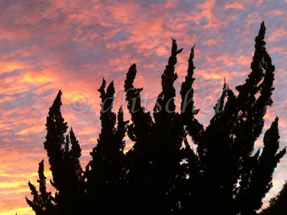 Interesting shapes of Hollywood juniper bushes against a dramatic sunset