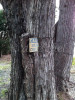 An old caution school crossing sign is embedded into a tree over the course of many years of tree growth.