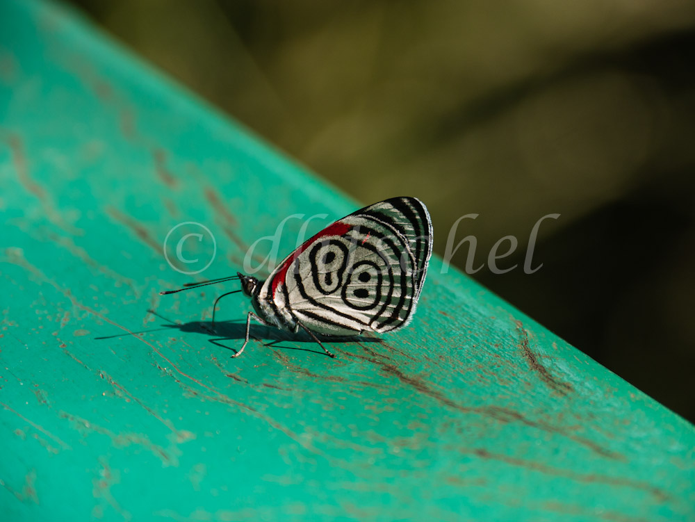 Eighty-eight butterfly at Iguazu Falls, Brazil