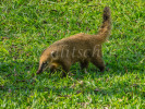 Coati animal on grass at Iguazu Falls, Brazil.