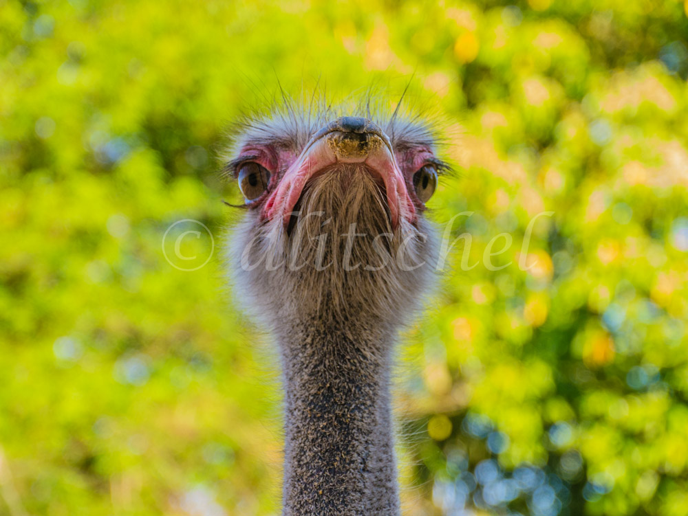 An Ostrich strikes a very funny pose peering out with only his head and neck visible against a yellow-green background at the bird park at Iguazu Falls, Brazil.