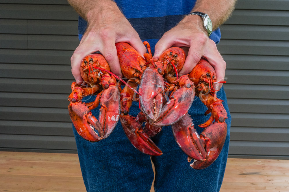 Two hands hold freshly cooked lobsters on Prince Edward Island, Canada.