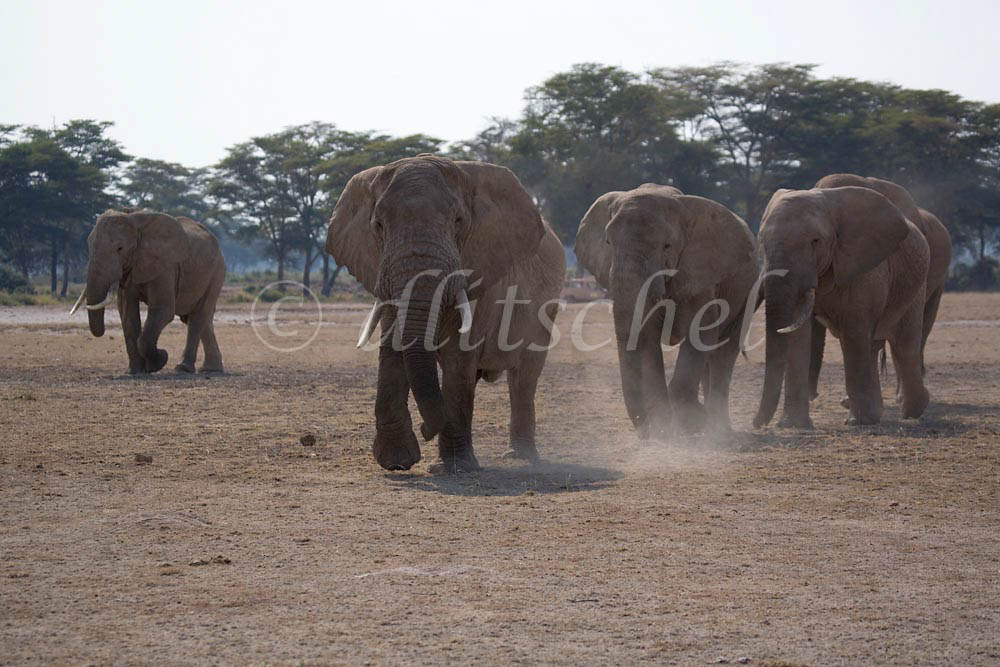 A herd of elephants march across the plains of the Sinya area of northern Tanzania. To purchase this image, please go to my stock agency click here.