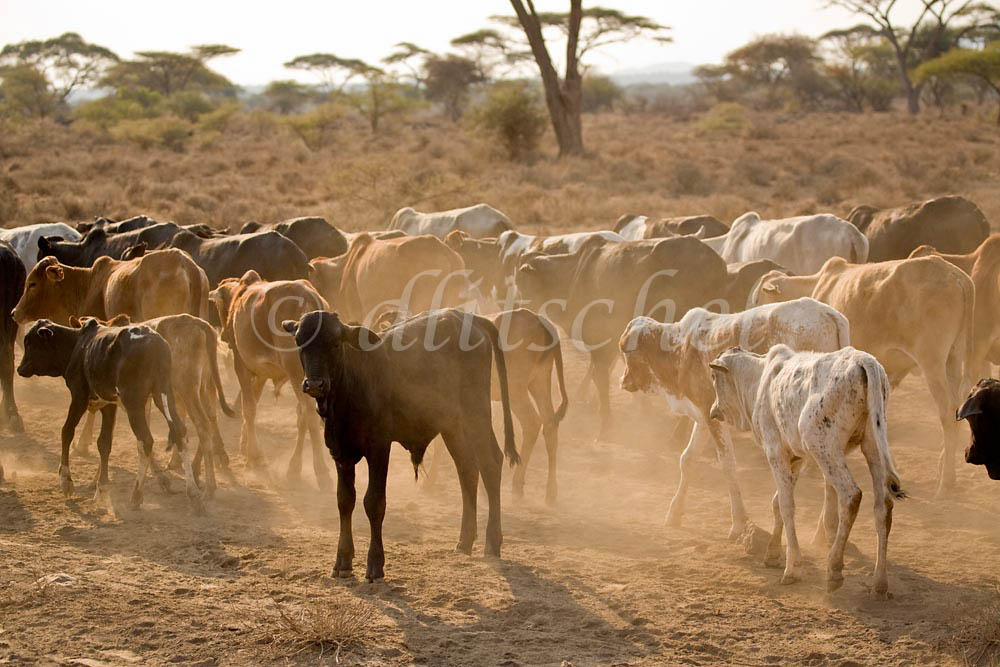 A Masai herd of cattle in the east African country of Tanzania. To purchase this image, please go to my stock agency click here.