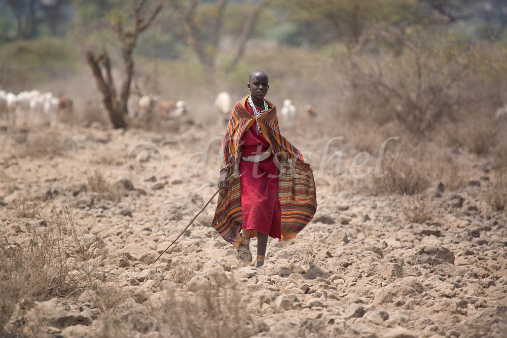 A Masai herder walks with the herd in the bush of Tanzania. To purchase this image, please go to my stock agency click here.