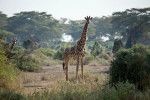 Two giraffes in the bush of the Sinya area of northern Tanzania near the border with Kenya. To purchase this image, please go to my stock agency click here.