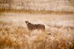 A cheetah stands with side of body visible and head turned toward camera staring forward in dry grasses of the Serengeti National Park in Tanzania .