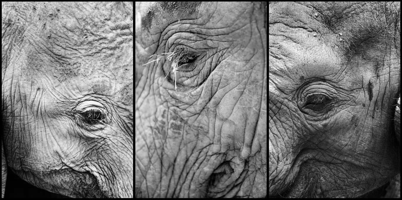 <i>Wrinkles and markings on the elephants skin distinguish the different individuals.</i>