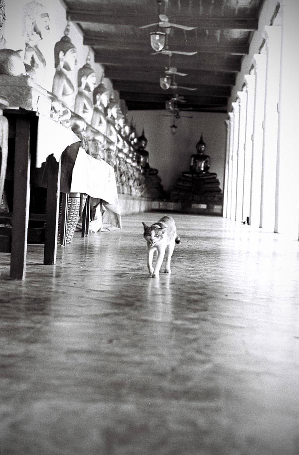 A temple cat walks through Wat Mahathat (Great Relic Temple)