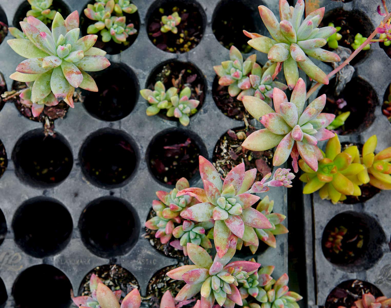 Broussard_succulents