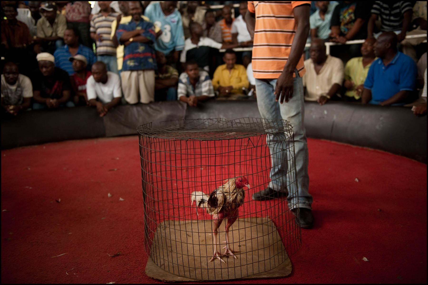 HaitianCockfighting003