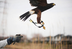 "Takanori Suzuki, 25, flies his beloved pet Harris Hawk, ""Cha Cha Maru"" in the park.  2012. Kashiwa-city, Chiba prefecture, Japan."