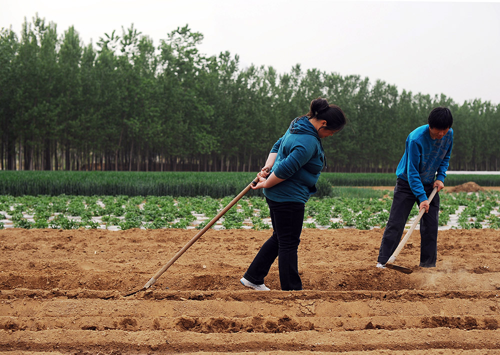 Li Chuan-hua helps his father-in-law in a field with the help of his wife. Lin Yi-City, Shandong Province, China.