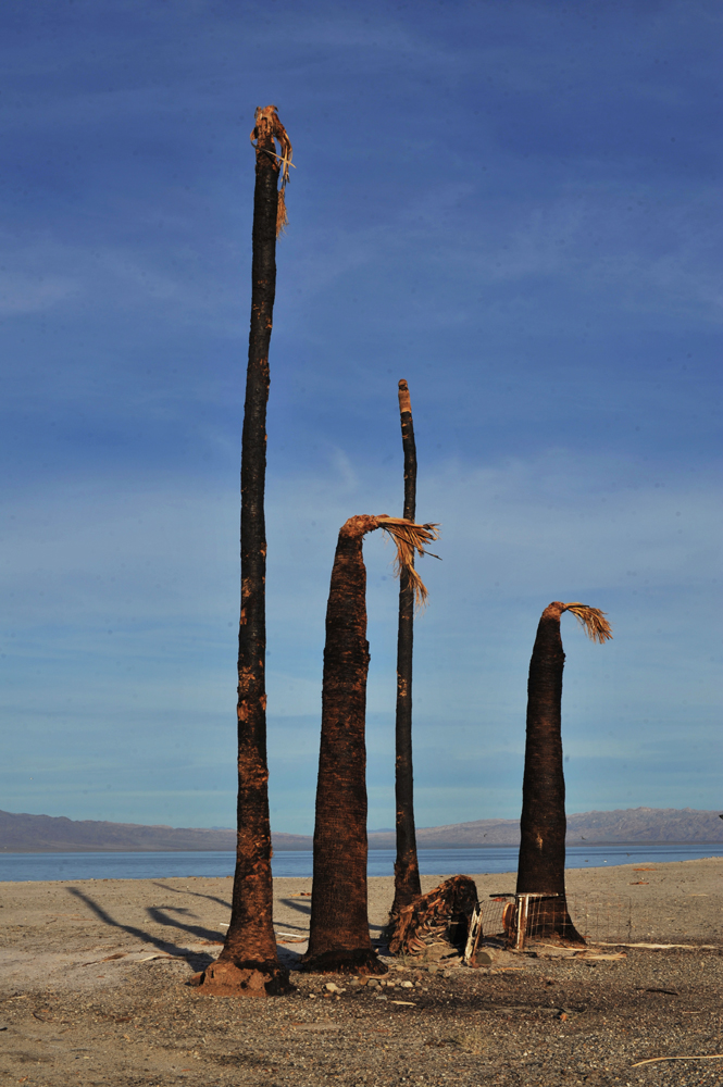 Burnt palm trees at Salton Sea Beach, west of the Salton Sea.