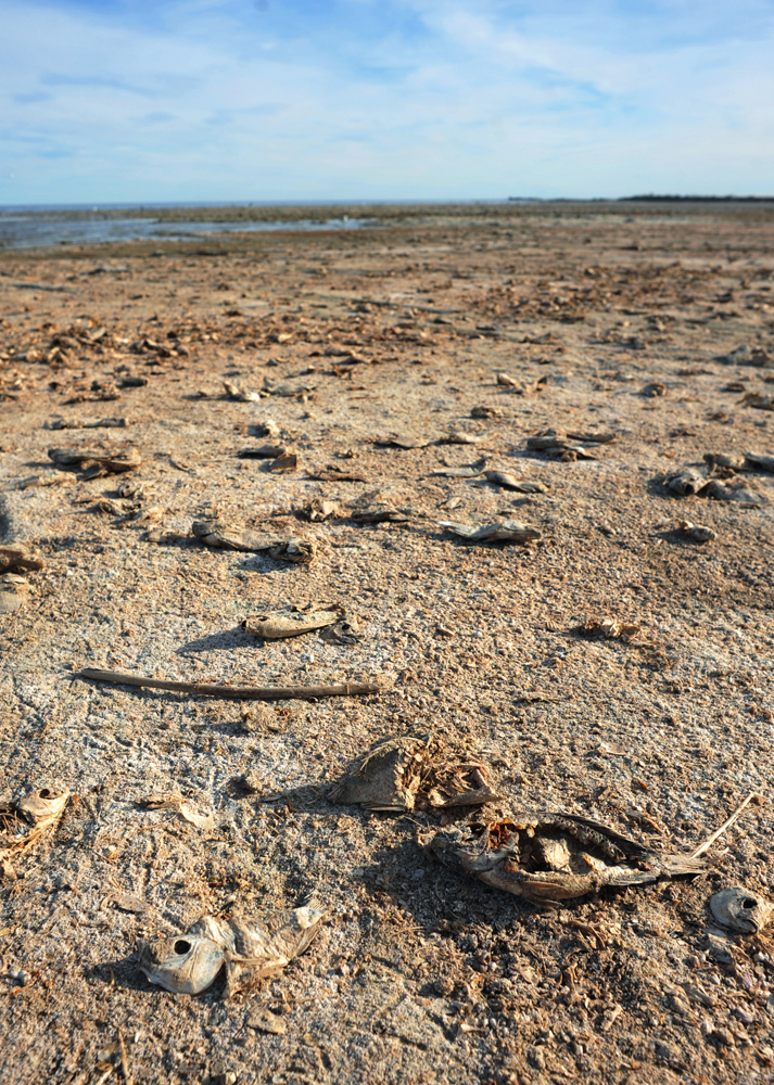 Stranded dried carcasses of tilapia fill the shore of Johnson's Landing, west of the Salton Sea.