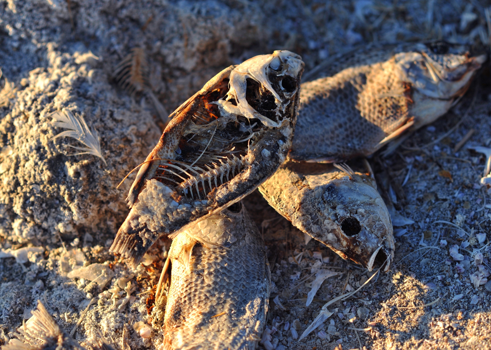 Dried carcasses of tilapia on the shore of Salt Creek Beach, east of the Salton Sea.