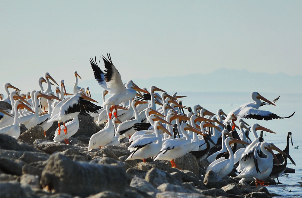 A large flock of American White Pelicans, North Shore. As many as 80 percent of the North American population of American white pelicans may use the Salton Sea in some years. North Shore is the home of the Salton Sea National Wildlife Refuge, one of California's greatest birdwatching areas.