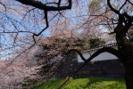 Cherry Blossoms at the Imperial Palace, Tokyo.
