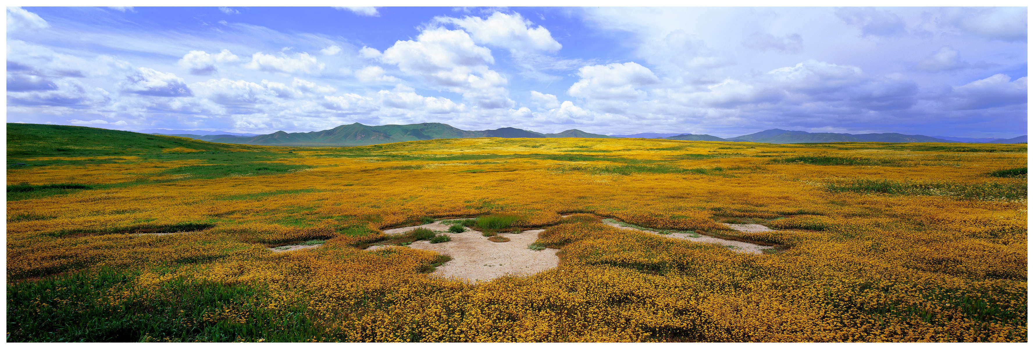 Goldfields blooming in the Carrizo Plains.