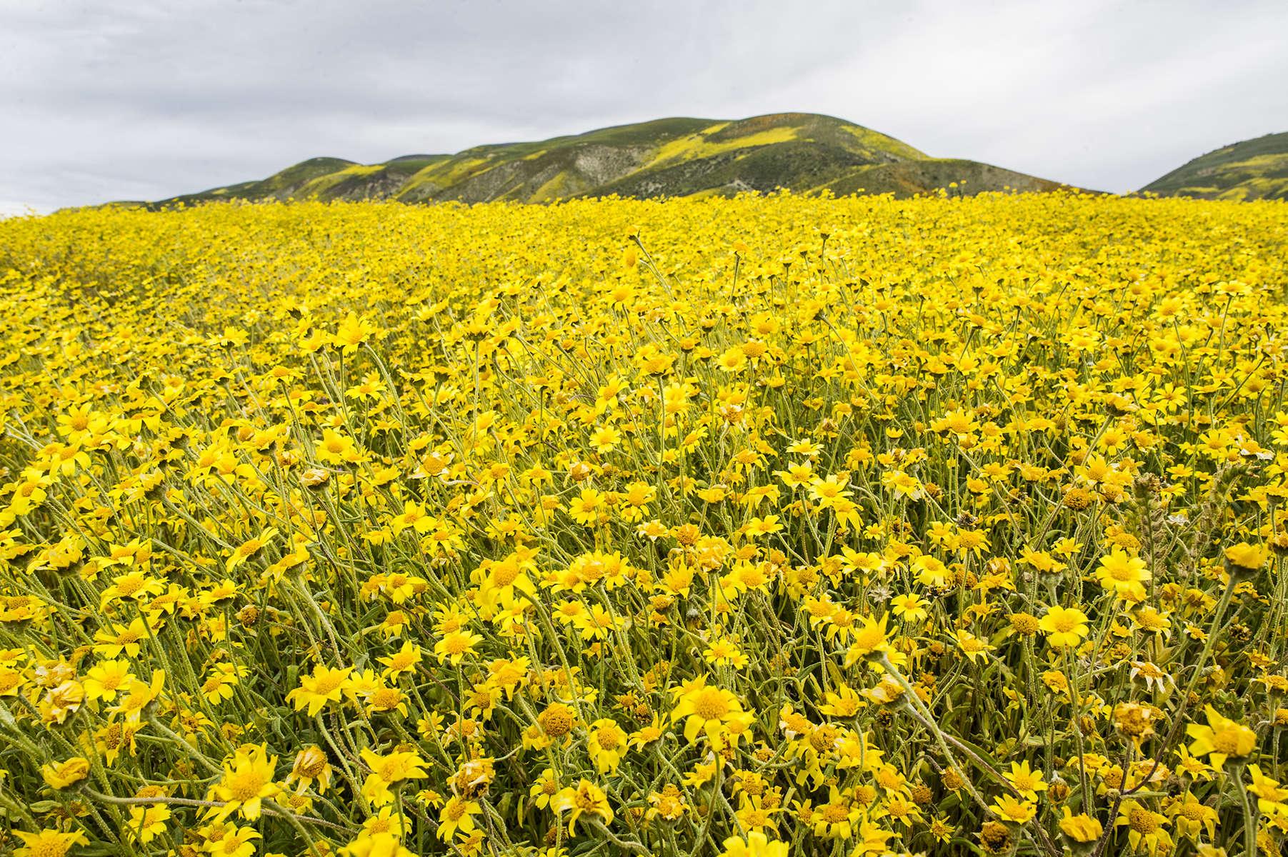 Hillside Daisies bloom in California's Carrizo Plain National Monument, April 2017.