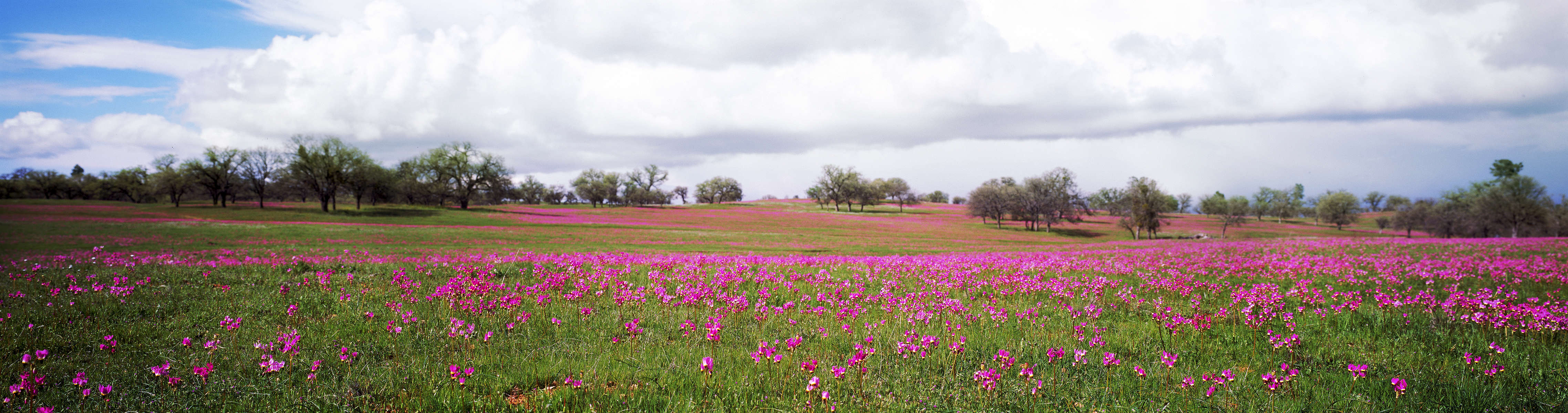 Shooting Stars blooming along Highway 58 east of Paso Robles.