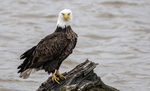April 30, 2020; A bald eagle near the shore of St. Joseph River in Osceola, IN. (Photo by Barbara Johnston/University of Notre Dame)