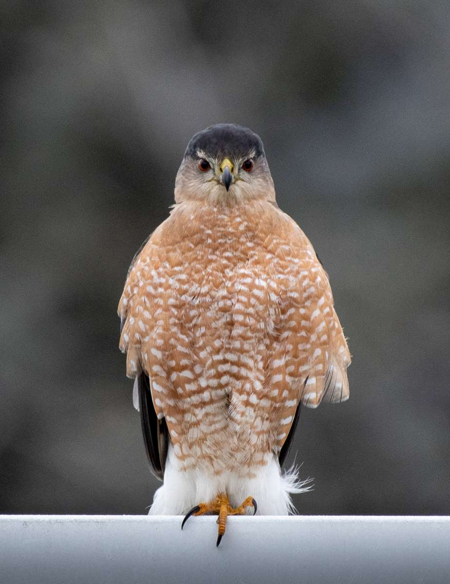 Cooper-s-Hawk