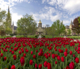 Tulips in full bloom in front of the Main Building.