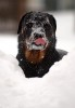 {quote}Dublin,{quote} a 14-month-old Rottweiler, licks snow off her nose after catching a snowball from her owner, Alexis Wise, of Chester Springs, during their morning walk. A major snow storm dumped over 2 feet of snow in the Philadelphia region.