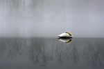 A swan sleeps on a thin layer of ice as fog rises from St. Mary's Lake mid-morning.