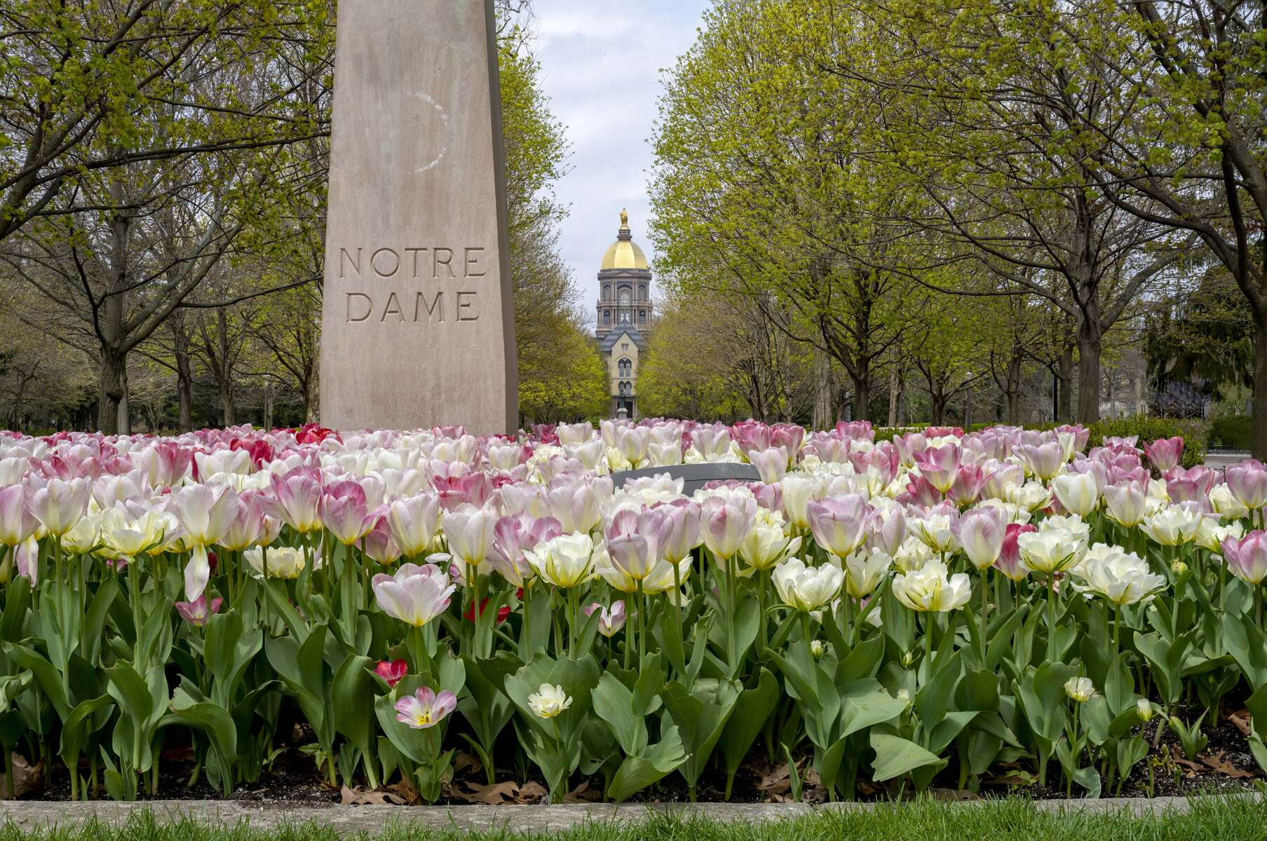 April 28, 2020; Tulips in full bloom in the Main Circle with the Golden Dome in the background.  (Photo by Barbara Johnston/University of Notre Dame)