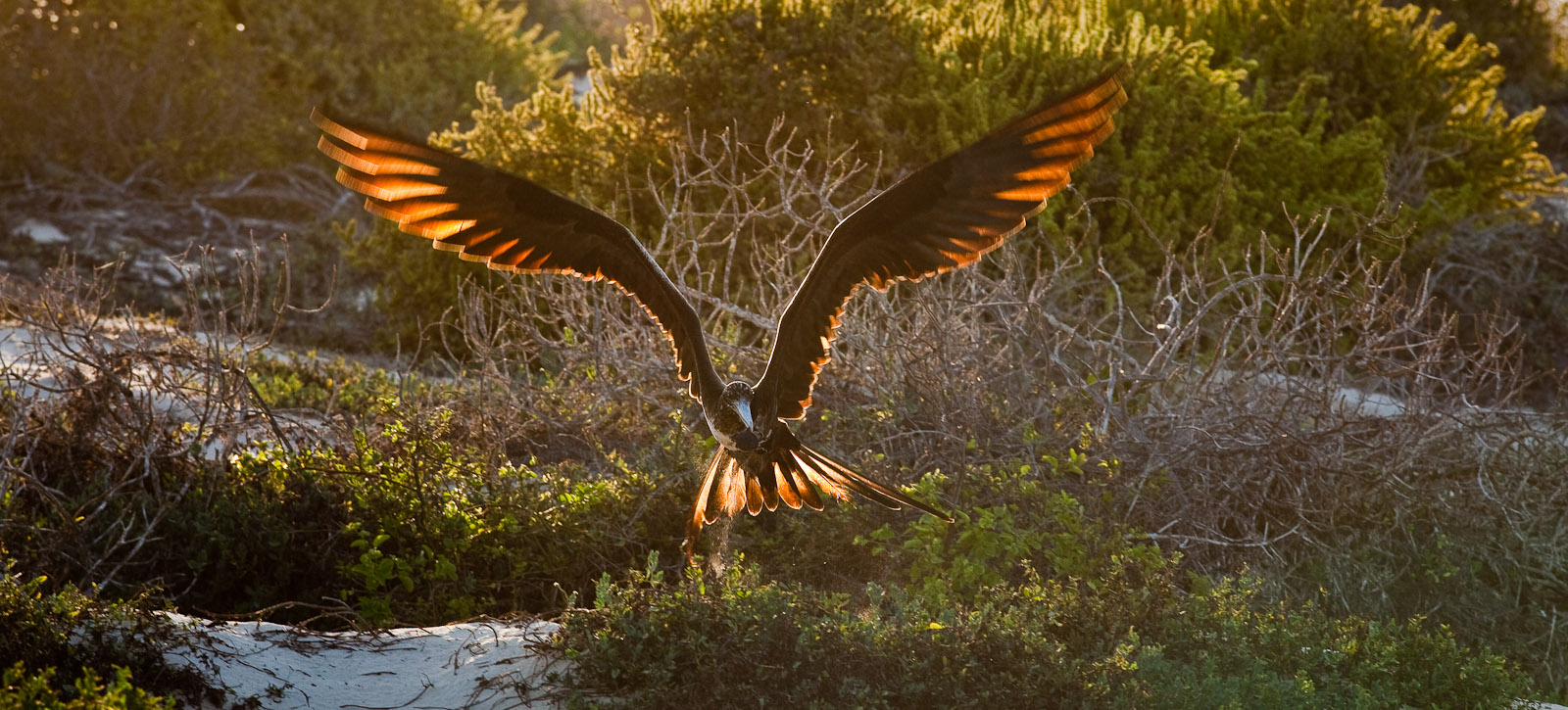 Floreana Island in the Galapagos is the home to sea turtles who are the prey of the frigate birds. This site is just over a rise from the lagoon where you'll find Pink Flamingos. Photo by Jay Graham