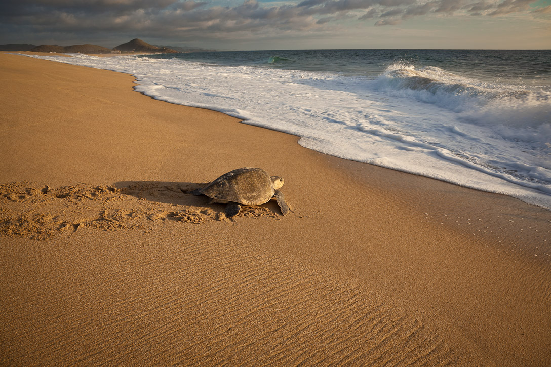 Mother Olive Ridley Sea Turtle (Lepidochelys olivacea) returning to the sea after laying her eggs a few hundered feet in front of Rancho Pescadero near Todos Santos, Baja. Photograph by Jay Graham