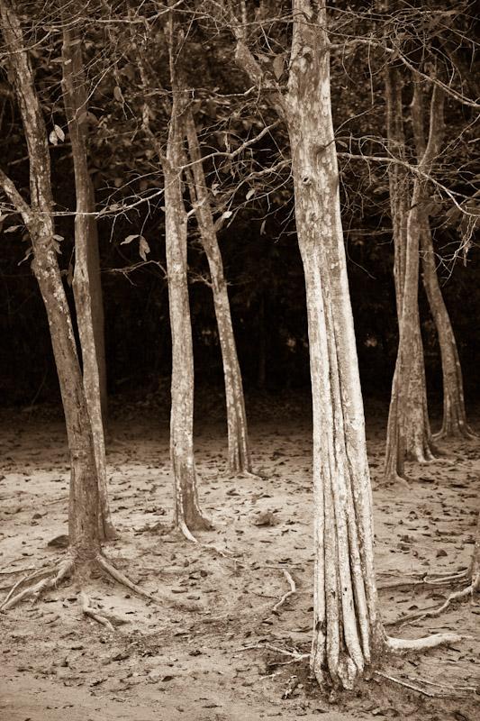 Sralao tree (Lagerstroemia Calyculata Lythraceae) at Preah Khan, Siem Reap, Angkor, Cambodia