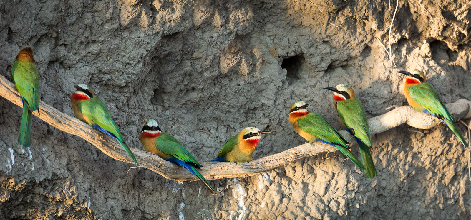 Cliff dwelling bee-eaters on the Zambezi River in Zambia just north of Vicotria Falls, Africa. We were treated to these amazing birds by Godfrey, one of the premier guides from Toka Leya Safari Camp. Photo © 2012 Jay Graham, all rights reserved