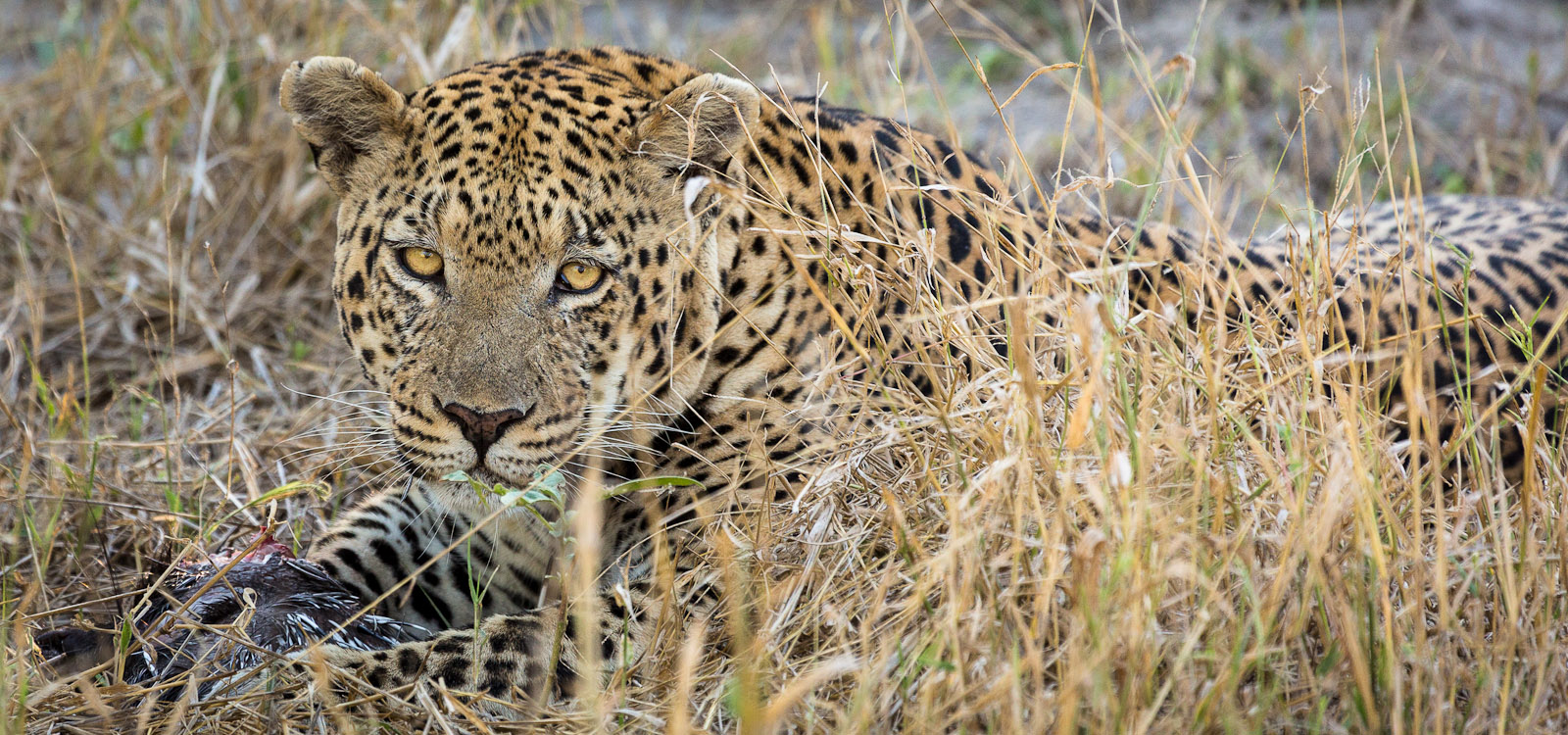 Phinley, our guide, was able to track a young leopard who was eating a young porcupine for dinner. The leopard had to keep working around and pulling out the quils to get to the {quote}good{quote} parts. This was on game drive at Chitabe Lediba Camp in the Okavango Delta, Botswana.