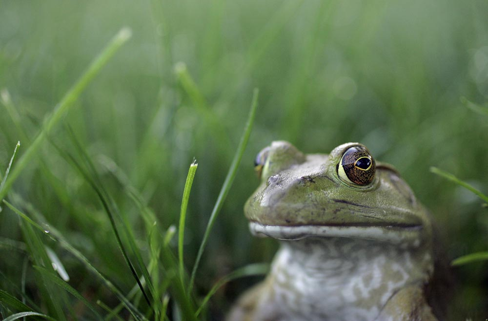 A large bullfrog sits camouflaged in a wet-dewy grass in a North Kansas Cityfront lawn.