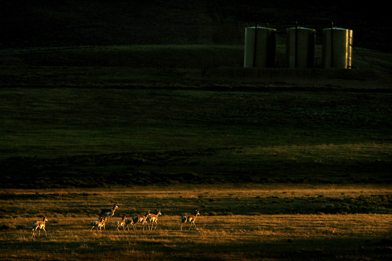 A group of pronghorn antelope forage near several gas pads late Monday afteroon 9/03/07 at Cottonwood Ranches in Sublette County.  Photo by Matt McClain