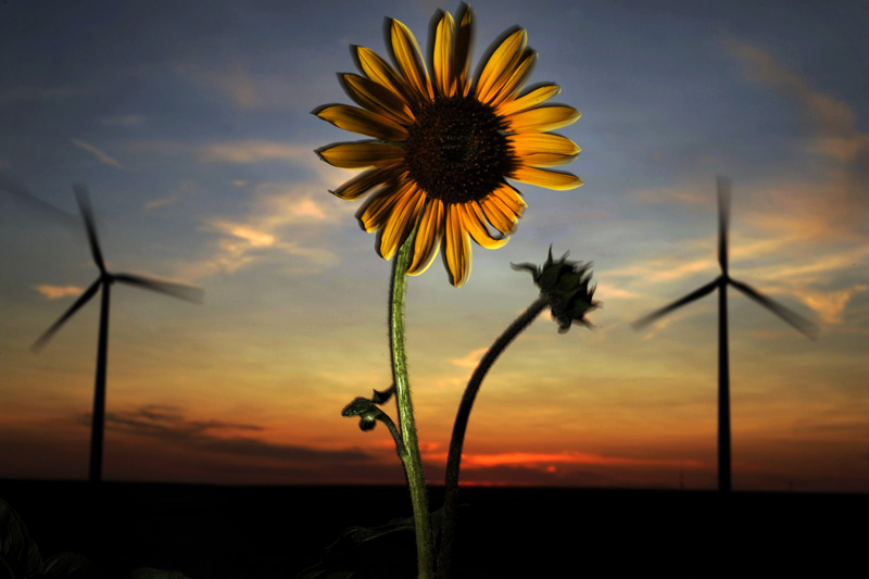 A sunflower is seen in front of two windmills at the 300.5 megawatt wind-power Cedar Creek Wind Farm east of Grover, Colo. Photo by Matt McClain