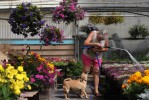 Betty Merrifield greets her dog, Lola, as she waters flowers in her one of her family's greenhouses at Merrifield Greenhouse and Charlotte Springs in Buena Vista, Colo. on Wednesday 08/19/09.  The Merrifield family uses geo thermal technology to heat and cool their greenhouses.  They are also looking for more funding for their hot springs that uses underground water through geo thermal technology. Photo by Matt McClain
