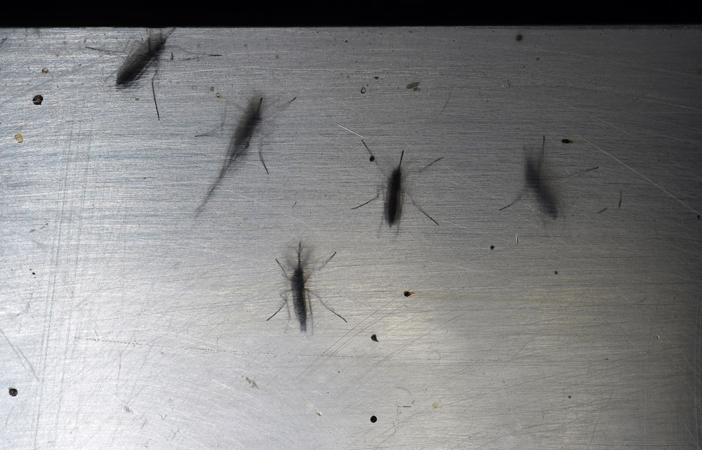 Aedes aegypti mosquitos are seen in a lab at Fundacao Oswaldo Cruz or Fiocruz Institute on Monday March 14, 2016 in Recife, Brazil. The Zika virus has been rampant in this region. The virus is spread by the Aedes aegypti mosquito. (Photo by Matt McClain/ The Washington Post)