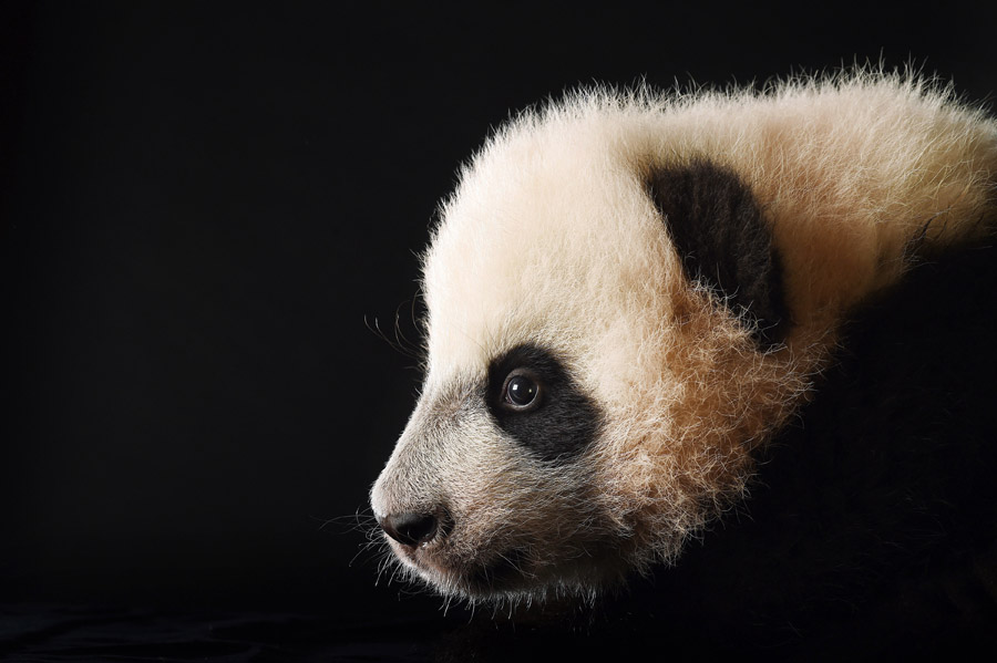 Bei Bei the giant panda cub is photographed at the Smithsonian National Zoological Park on Tuesday December 15, 2015 in Washington, DC. He was born August 22, 2015. This series features animals that were born at the Smithsonian National Zoological Park or the Smithsonian Conservation Biology Institute in 2015. (Photo by Matt McClain/ The Washington Post)