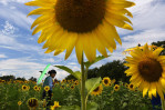 Khet Mar of Rockville, MD carries an umbrella through a sunflower field at McKee-Beshers Wildlife Management Area on Saturday July 16, 2016 in Poolesville, MD. Mar and others in her group visited the field to have photographs taken. There are several sunflower fields in bloom at McKee-Beshers. (Photo by Matt McClain/ The Washington Post)