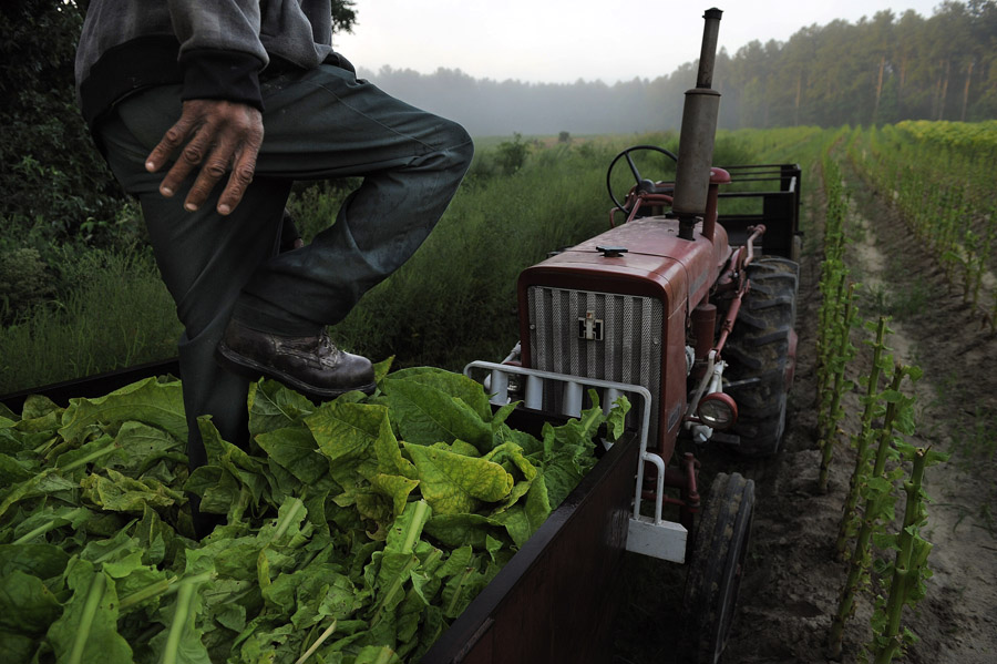 Boo Rose steps on tobacco in a cart in a field on Friday August 30, 2013 in Warfield, VA.  The land and crop is owned by third generation tobacco farmer, Neil Corum.  The history of tobacco in Virginia can be traced back to Jamestown's John Rolfe.  (Photo by Matt McClain/ The Washington Post)